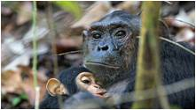 tn cognition-emotion apes