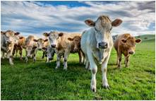 tn compassion-protection cows