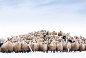 tn mission sheep