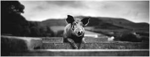 tn new-approach pig