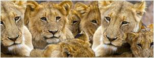 tn why-we-we-are-involved lions
